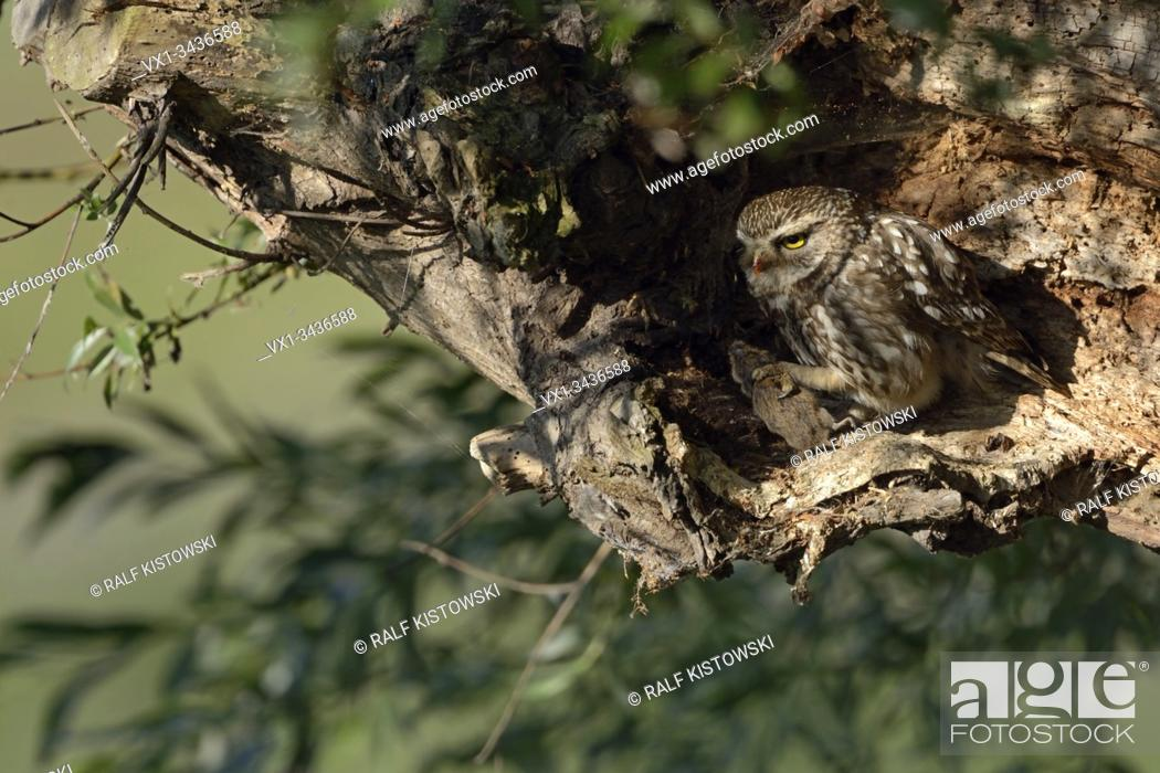 Stock Photo: Little Owl / Minervas Owl ( Athene noctua ), adult bird of prey, feeding on a mouse in its talons, hidden in a rotten tree, wildlife.