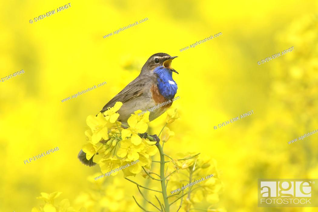 Stock Photo: White-spotted bluethroat (Luscinia svecica cyanecula) male calling / singing in flowering rape field / rapeseed field in spring.