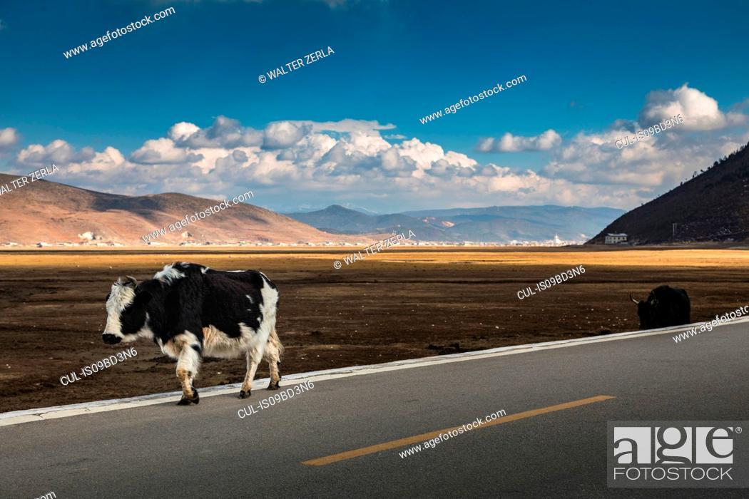 Stock Photo: Cows walking on road, Shangri-La County, Yunnan, China.