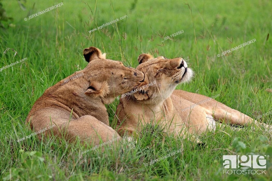 Stock Photo: Two Lionesses (Panthera leo), social behavior, Sabi Sabi Game Reserve, Kruger National Park, South Africa, Africa.