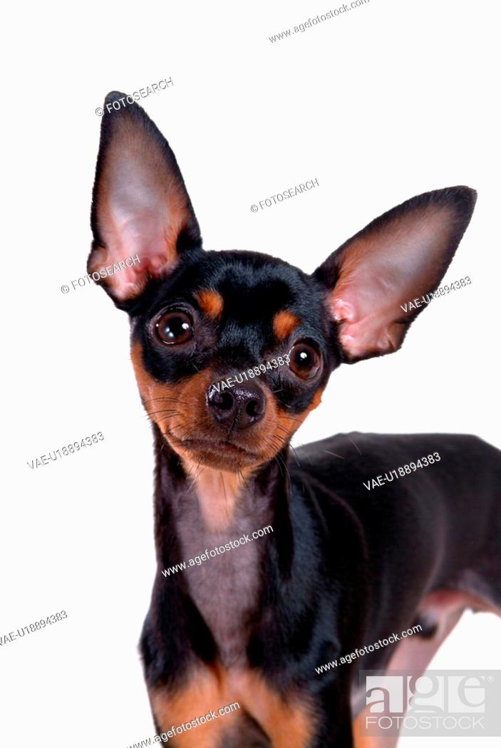 Stock Photo: pose, domestic, companion, house pet, canines, miniature pinscher.