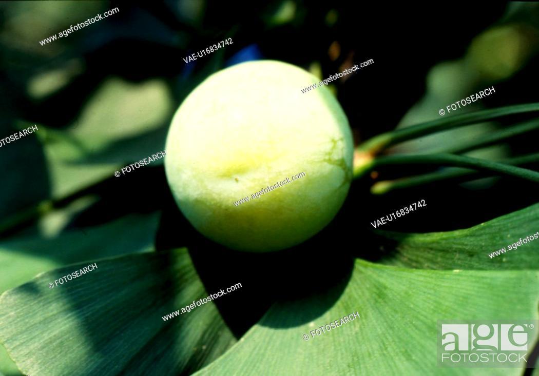 Stock Photo: gingko nut, nature, ginkgo leaf, ginkgo, scene, plant, landscape.