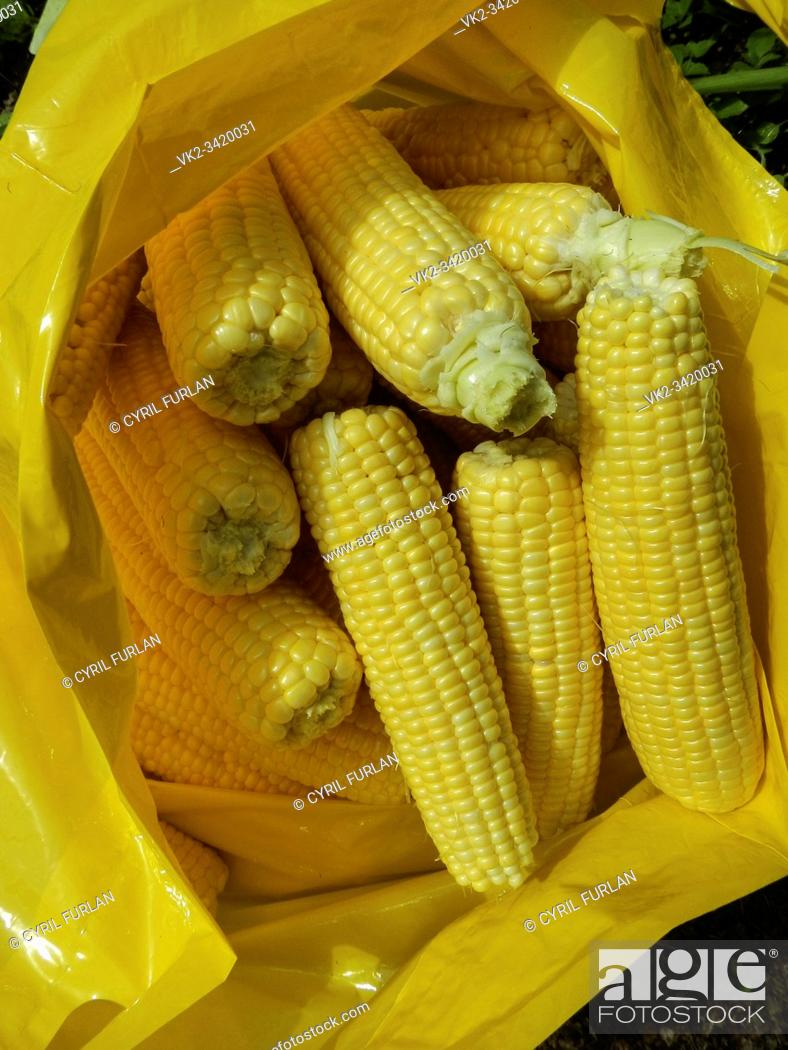Stock Photo: Freshly harvested and husked sweet corn.