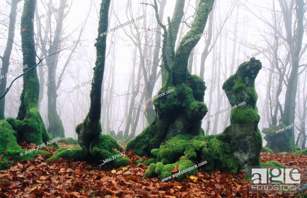Stock Photo: Beechwood in fall. Elosua. Guipúzcoa. Euskadi, Spain.