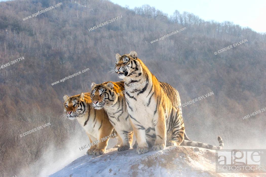 Stock Photo: China, Harbin, Siberian Tiger Park, Siberian Tiger (Panthera tgris altaica).