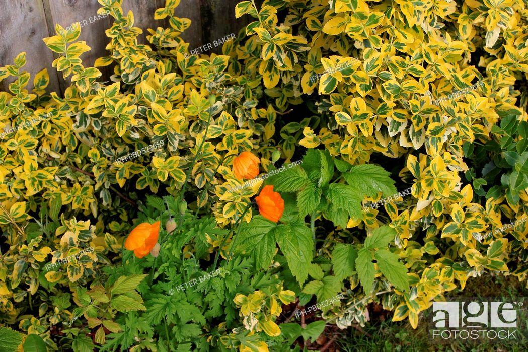 Imagen: England Dorset Garden Flowers Golden Privet (Ligustrum ovalifolium Aureum) Californian Poppies, and Autumn Fruiting Rasberries.