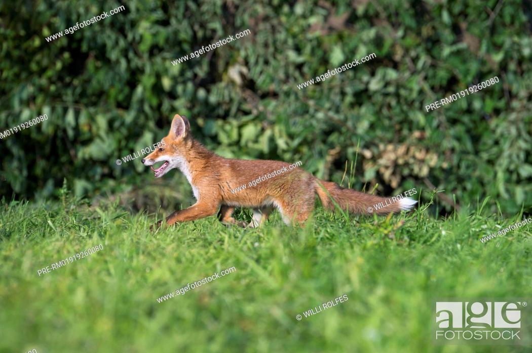 Imagen: Juvenile Red Fox, Vulpes vulpes, Vechta district, Niedersachsen (Lower Saxony), Germany / Junger Rotfuchs, Vulpes vulpes, Landkreis Vechta, Niedersachsen.
