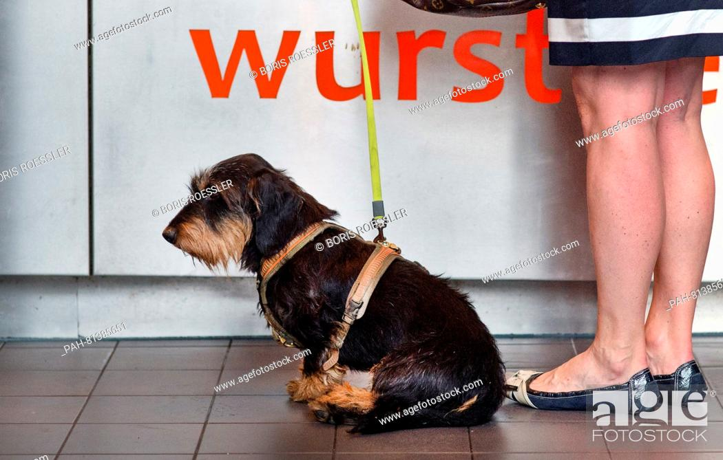 Stock Photo: Where his mistress earlier paid for the goods, a dachshund is taking a rest while waiting in front of a booth for sausages in Frankfurt, Germany, 20 June 2016.