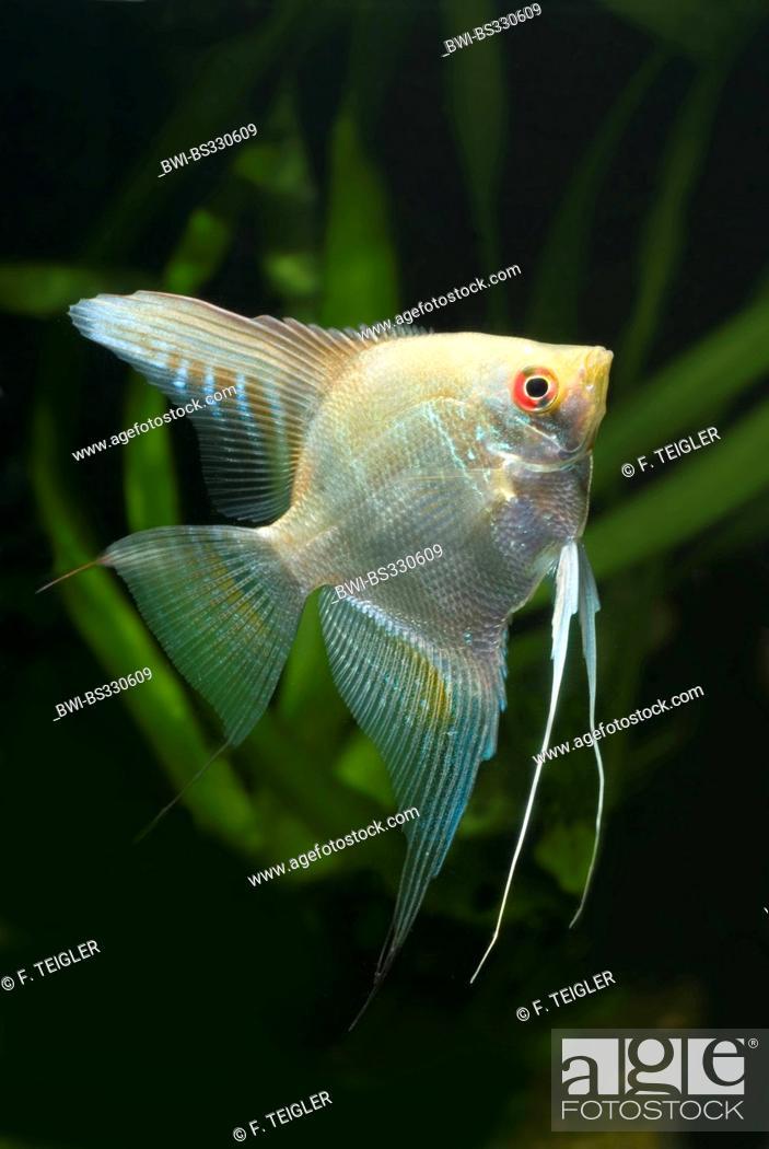 Angelfish Size Ibovnathandedecker