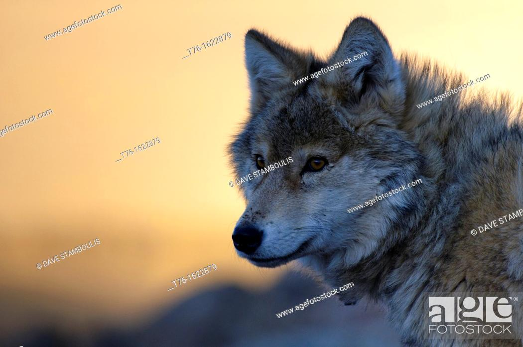 Stock Photo: wild wolf canis lupis in the Altai Region of Bayan-Ölgii in Western Mongolia.