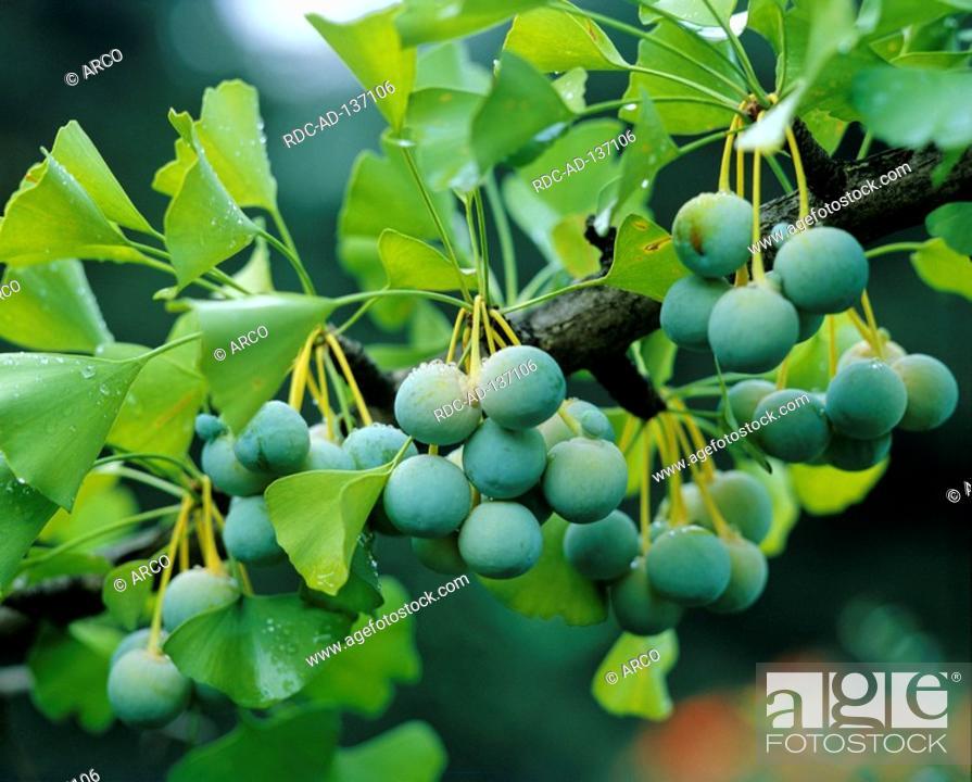 fruit ginkgo biloba