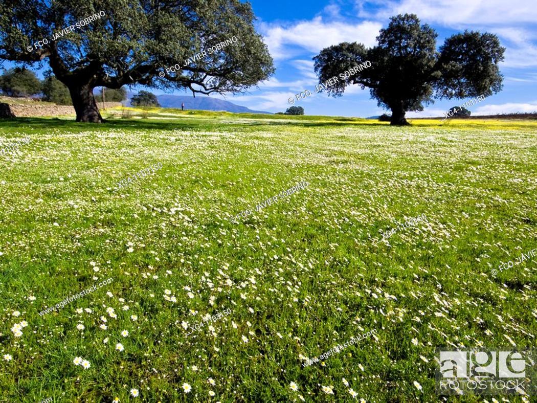 Stock Photo: Encinas y prados repletos de flores - Dehesas de Granadilla - Granadilla - Cáceres - Extremadura - España.