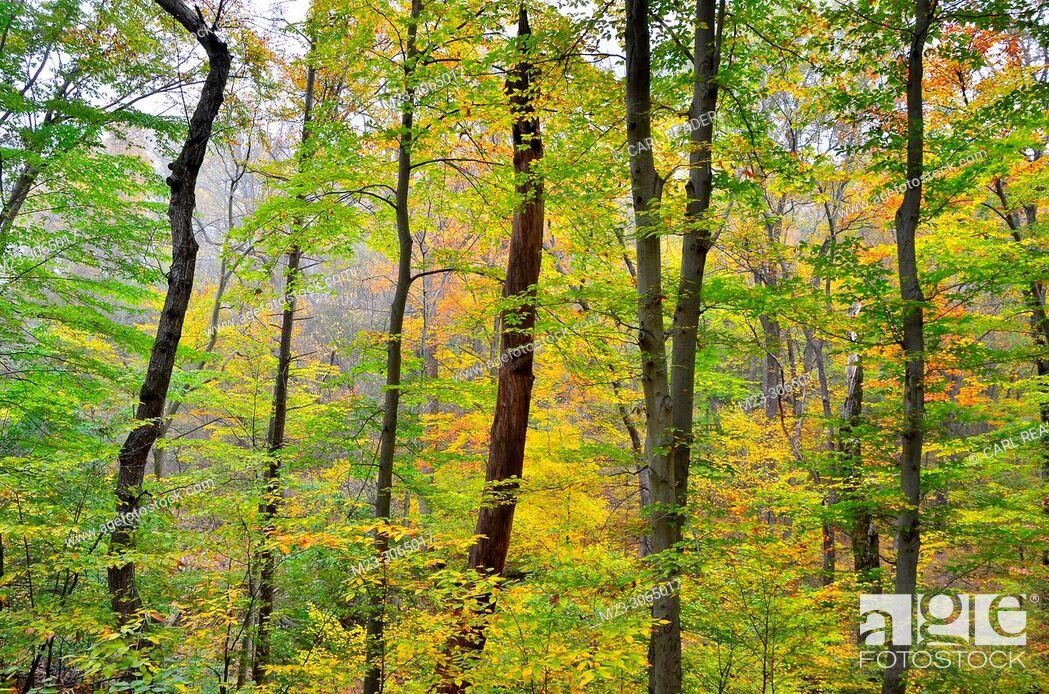 Stock Photo: A pastiche of autumn tree color, Pennsylvania, USA.
