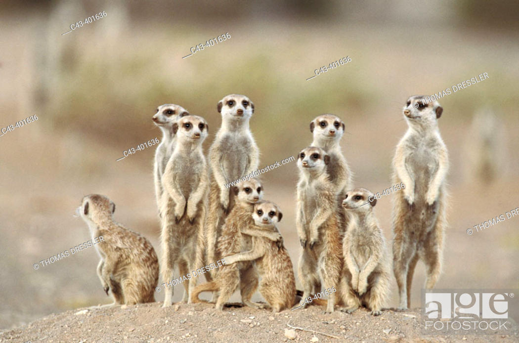 Imagen: Meerkat or suricate (Suricata suricatta) family with young on the lookout at the edge of their burrow. Kgalagadi Desert. Southeast Namibia.