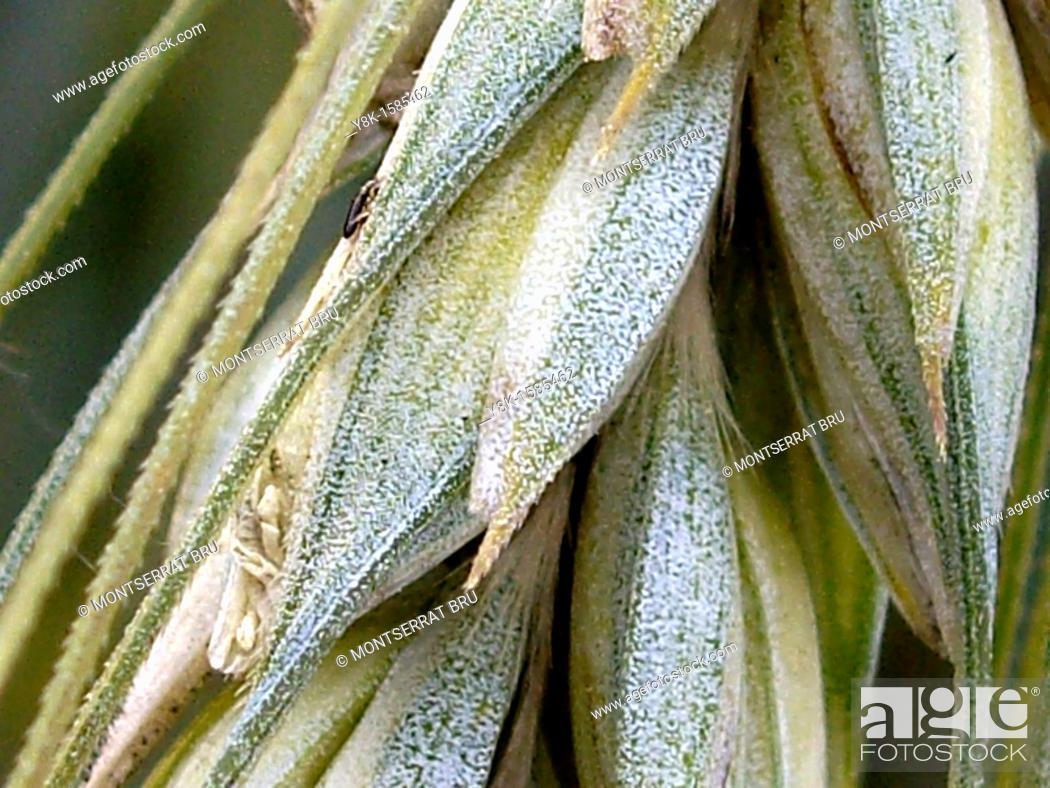 Stock Photo: Wheat closeup.