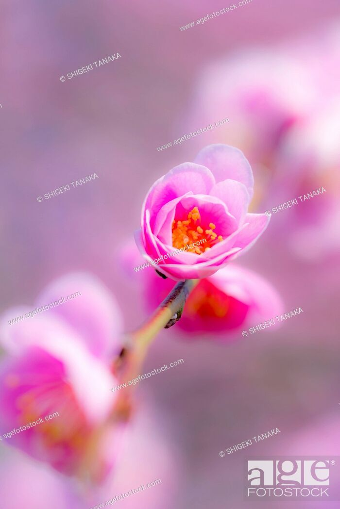 Stock Photo: Plum blossom in Inabe plum garden, an agricultural park home to 4, 500 plum trees of 100 different varieties, Inabe city, Mie Prefecture, Japan.