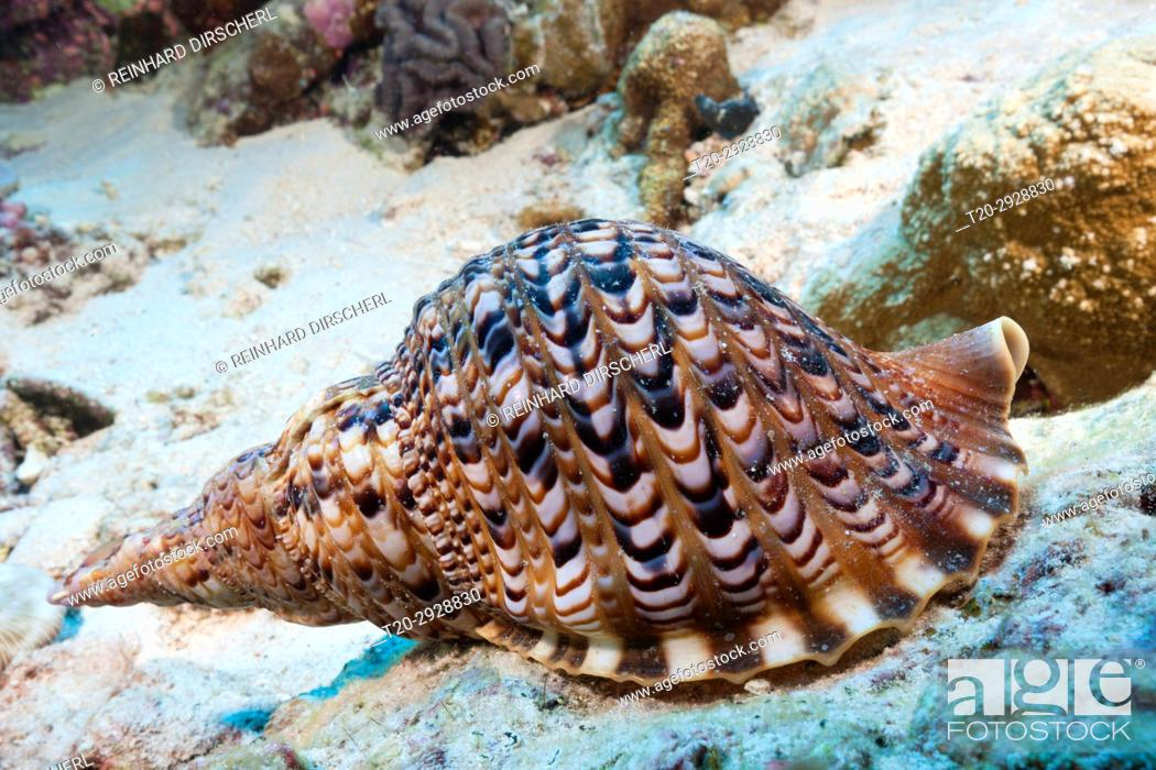 Imagen: Giant Triton Shell, Charonia tritonis, Christmas Island, Australia.