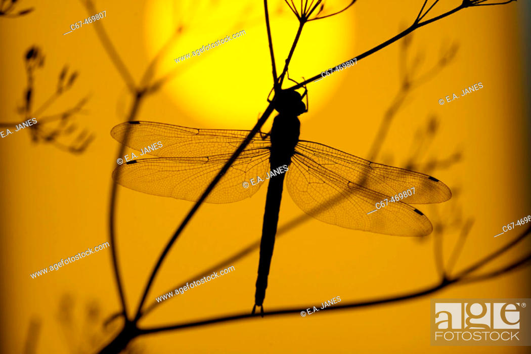 Stock Photo: Emperor Dragonfly (Anax imperator) at sunset.