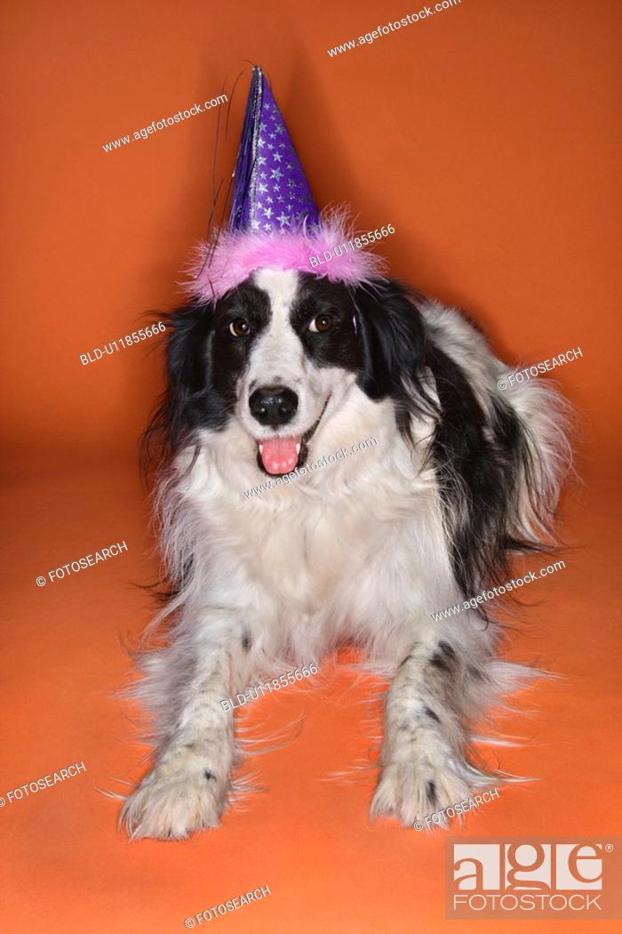 Stock Photo: Black and white Border Collie mix dog wearing party hat.