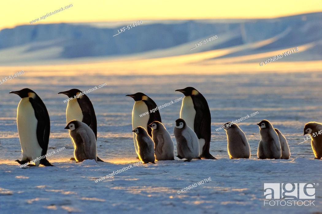 Imagen: Emperor Penguins with chicks walking at sunset, Aptenodytes forsteri, iceshelf, Weddell Sea, Antarctic.