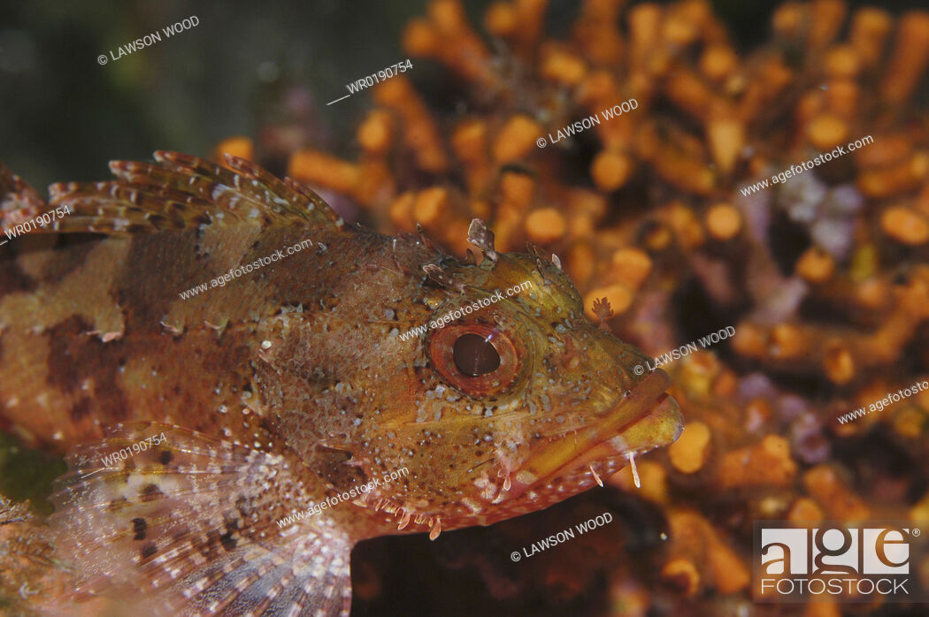 Imagen: Small Rockfish Scorpaena notata, orange & brown against orange coral background, Malta, Maltese Islands, Mediterranean.
