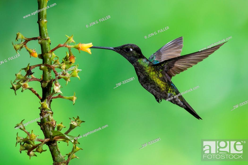 Stock Photo: A male Magnificent Hummingbird, Eugenes fulgens, feeds on a tropical Rubiaceae flower in Costa Rica.