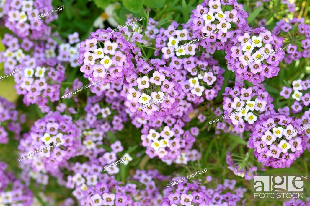 Garden flowers lantana sp genus of perennial flowering plants in stock photo garden flowers lantana sp genus of perennial flowering plants in the verbena family verbenaceae common name are shrub verbena or lantana mightylinksfo