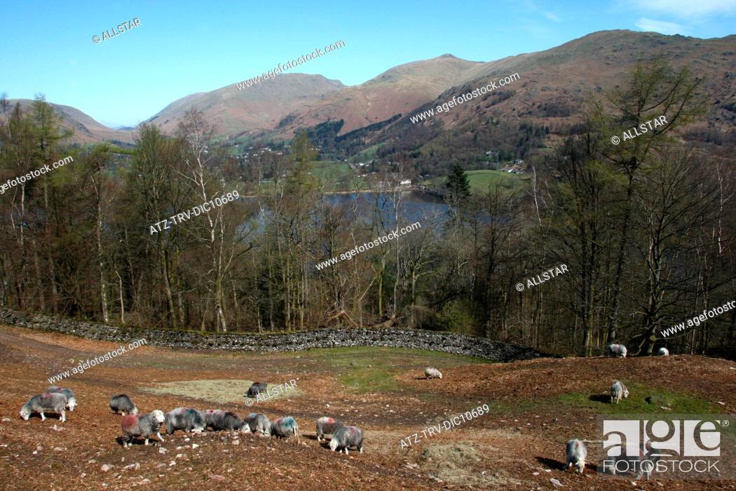 Stock Photo: SHEEP GRAZING OVERLOOKING GRASMERE; GRASMERE, THE LAKE DISTRICT; 27/04/2010.