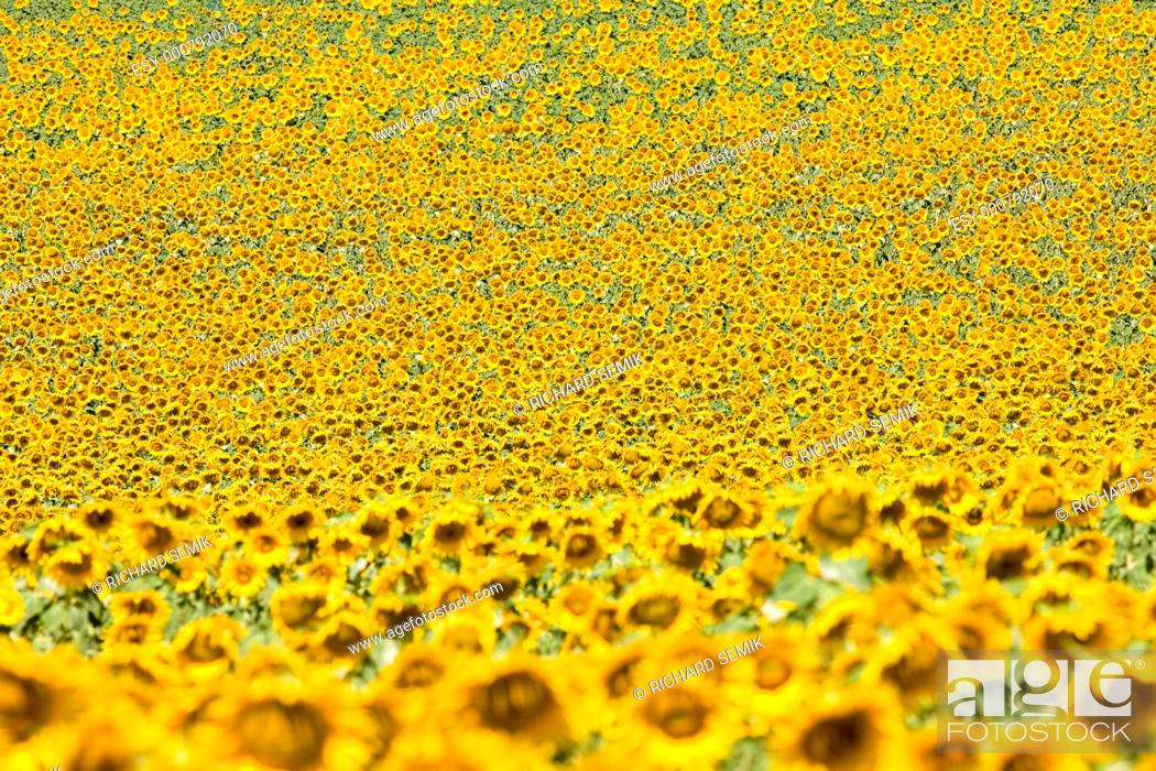 Stock Photo: sunflower field, Provence, France.