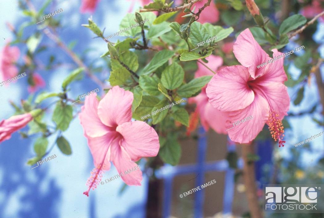 Stock Photo: Rose mallow blossom.