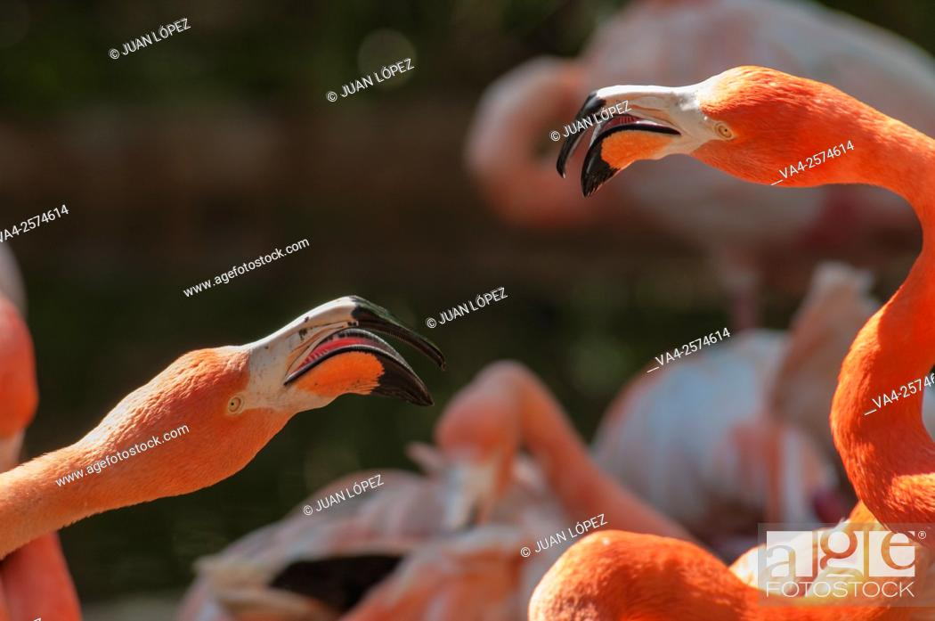 Stock Photo: Chilean flamingoes, Barcelona Zoo, Barcelona, Spain.
