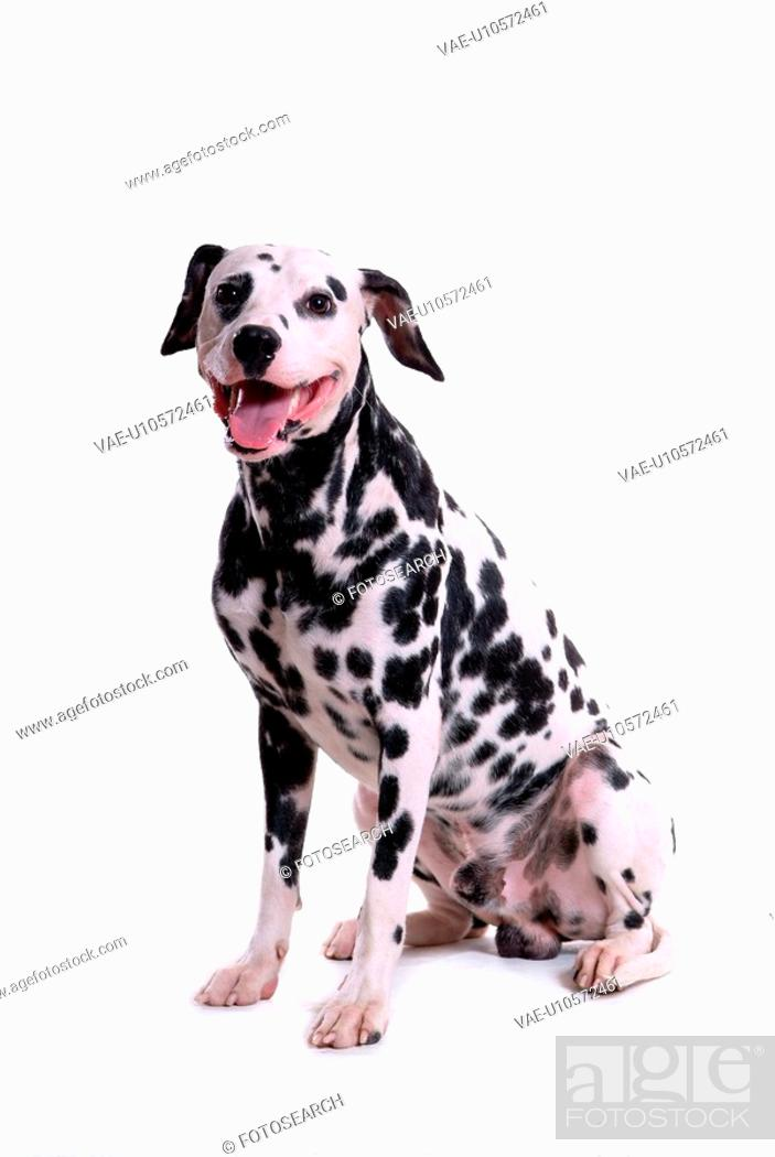 Stock Photo: domestic, animal, dalmatian, dalmation, dog, canines, pet.