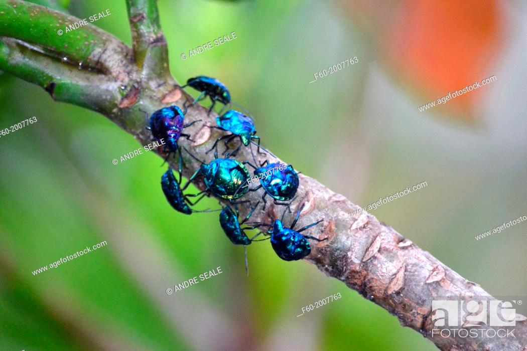 Stock Photo: Group of blue insects Hemiptera, Zicrona cerulea, Poindimie, New Caledonia, South Pacific.
