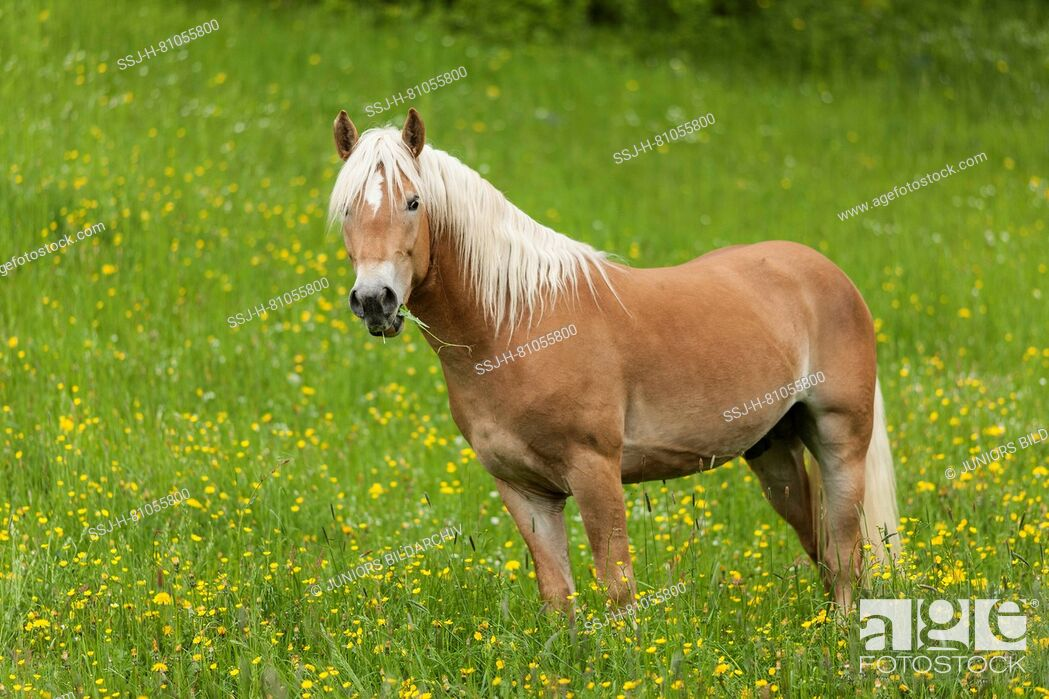 Stock Photo: Haflinger Horse. Adult standing on a pasture in spring. Germany.