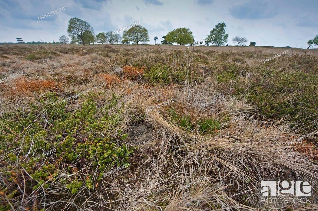 Imagen: Sky Lark Alauda arvensis - National Park Drents-Friese Wold, Aekingerzand, Kale Duinen, Appelscha, Appelskea, Ooststellingwerf, Frisian Forrests, Frisia.