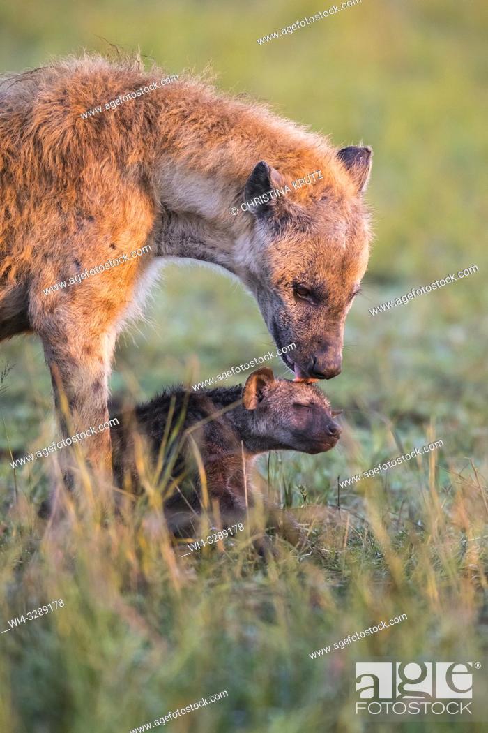 Stock Photo: Spotted hyena (Crocuta crocuta) mother with cub, Maasai Mara National Reserve, Kenya, Africa.