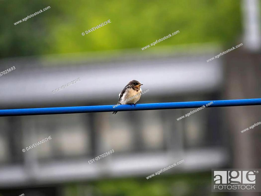 Stock Photo: A young barn swallow, Hirundo rustica gutturalis, waits on a power line for an adult to bring it food from the nearby river.