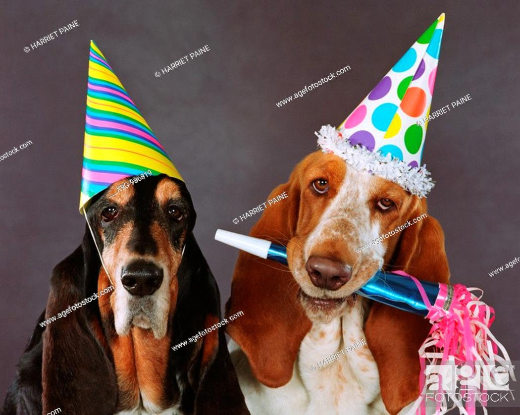 Stock Photo: Bassett Hounds.