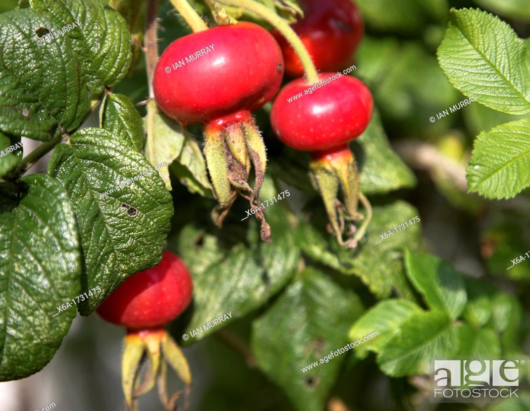 Stock Photo: Rosa rugosa plant red fruit.