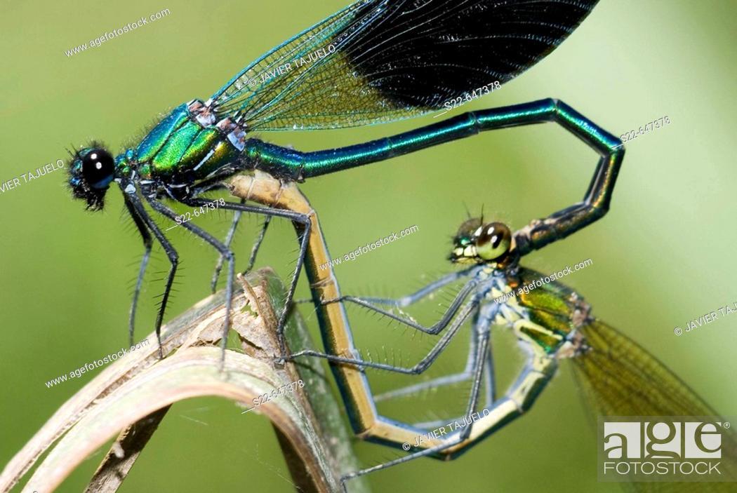 Photo de stock: Banded Demoiselle (Calopteryx splendens). Yatova, Valencia province, Comunidad Valenciana, Spain.