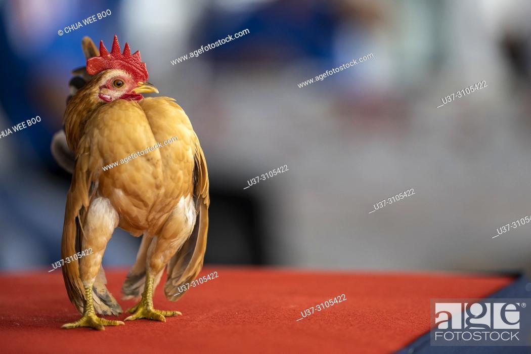 Imagen: KPass Serama Sarawak Contest at Summer Mall, Kota Samarahan, Sarawak, Malaysia.