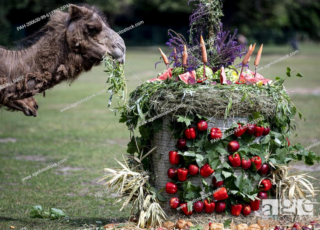 Stock Photo: 29 June 2020, Berlin: The dromedaries of the camel enclosure eat a birthday cake on the occasion of the 65th anniversary of the Berlin Zoo.
