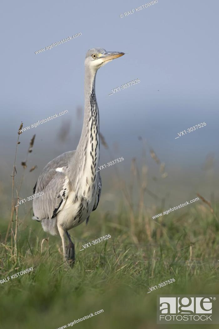Stock Photo: Grey Heron ( Ardea cinerea ), slowly walking through high grass of a pasture, watching around attentively, frontal view, wildlife, Europe.