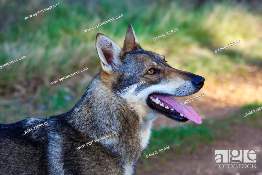 Stock Photo: Czechoslovakian wolfdog.