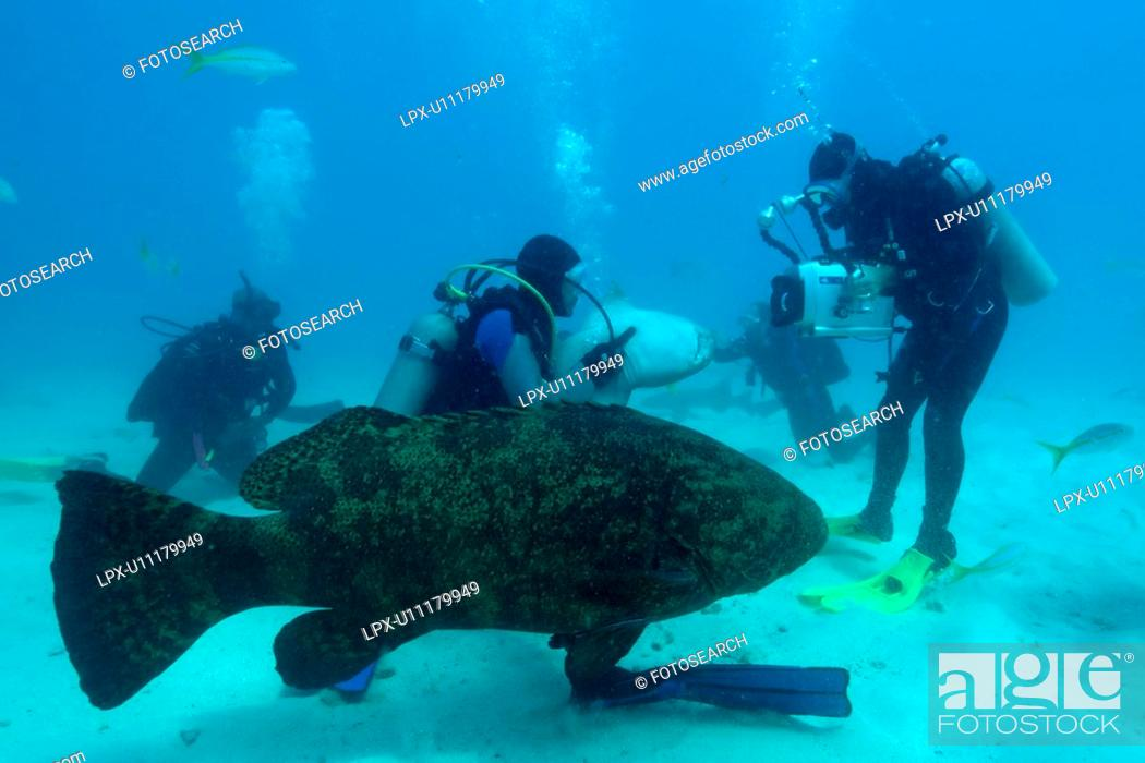 Stock Photo: Divers play with and film Nurse sharks, Ginglymostoma cirratum, and a Goliath grouper, Epinephelus itajara, Molasses Reef, Key Largo, Florida, USA.