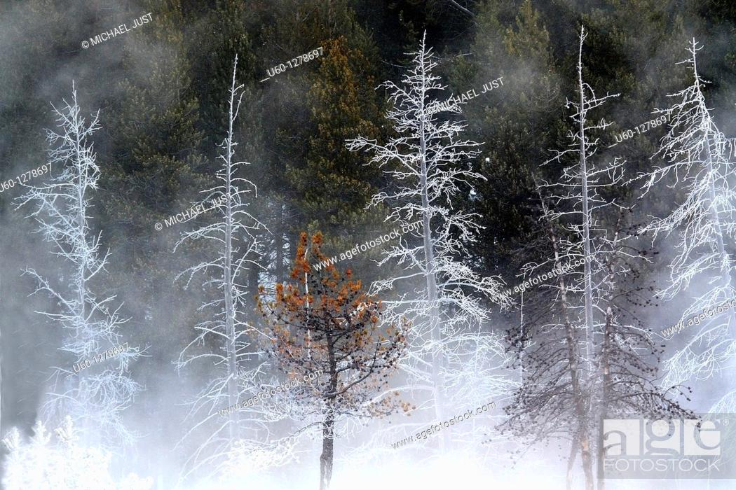 Stock Photo: Cold and harsh winter temperatures produce frost on the trees at Yellowstone National Park, Wyoming.