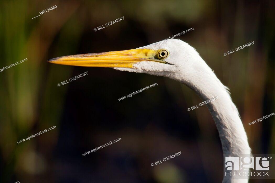 Stock Photo: Great Egret - Green Cay Wetlands - Boynton Beach, Florida USA.