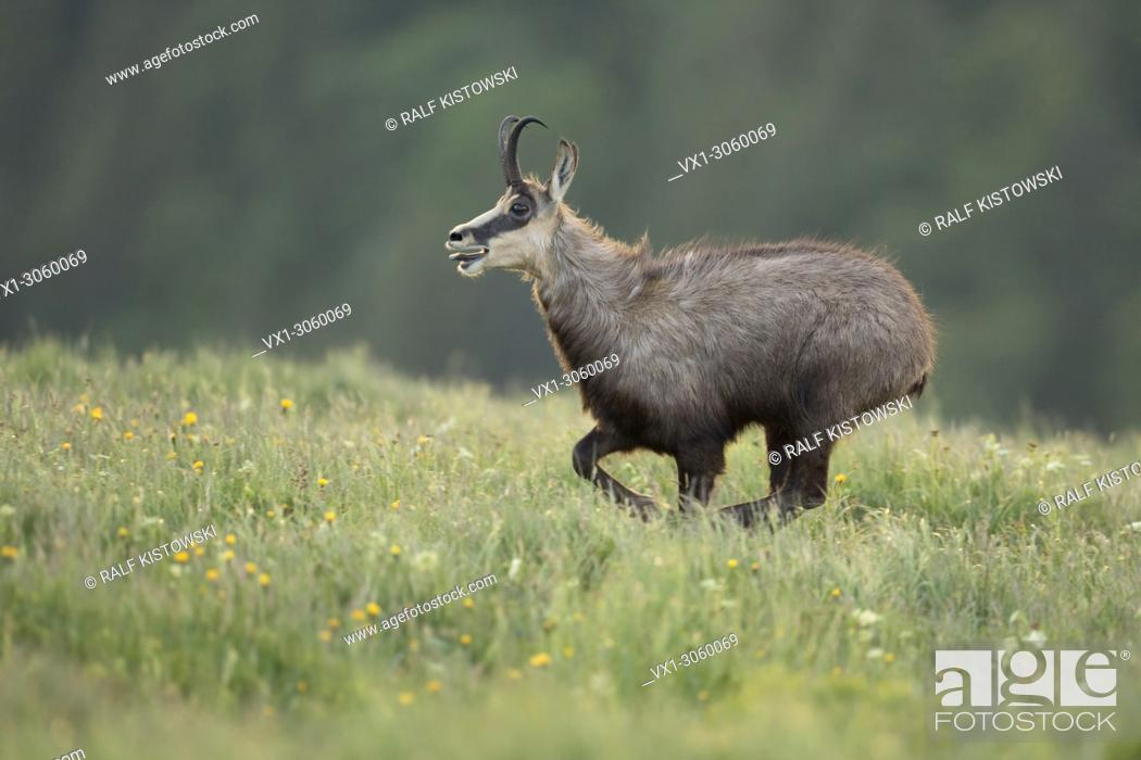 Stock Photo: Alpine Chamois (Rupicapra rupicapra) on the run, running over a flowering mountain meadow, seems to be exhausted, wildlife, France, Europe.