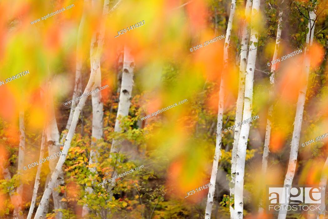 Stock Photo: Pincherry Prunus pennsylvanica turning colour in autumn Greater Sudbury Ontario.