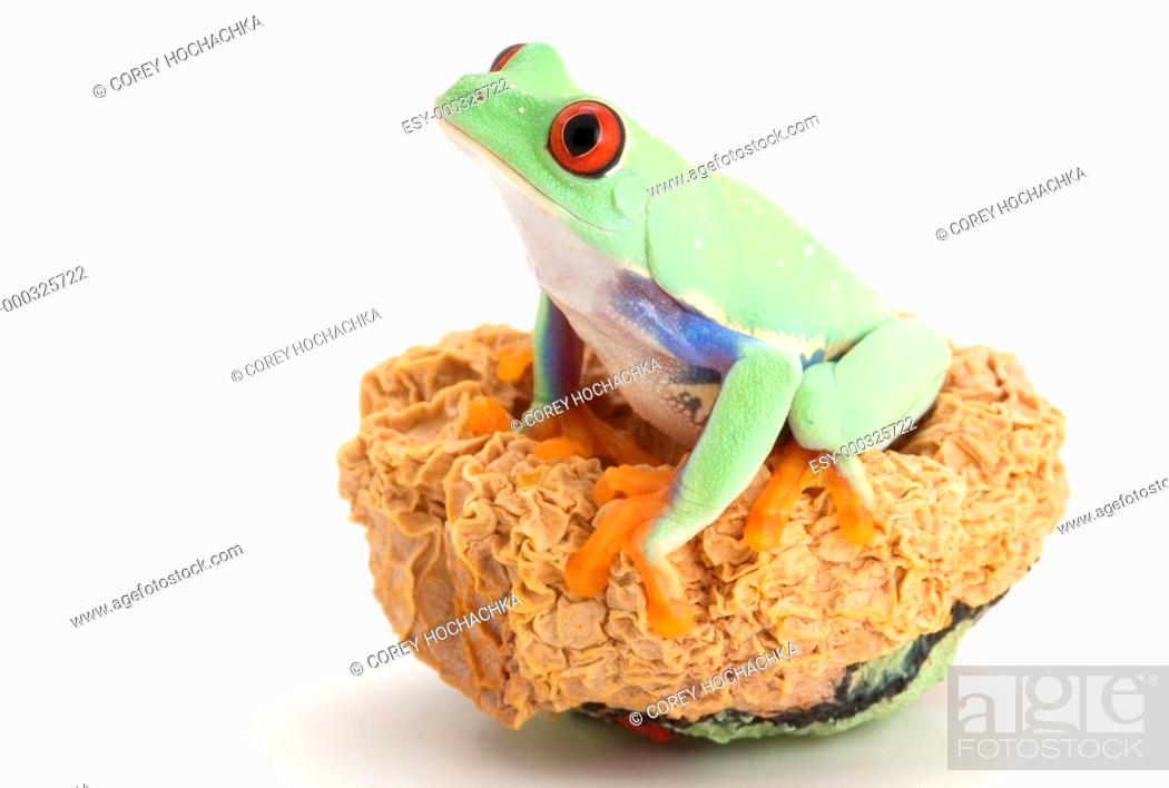 Stock Photo: Red-eyed Tree frog.